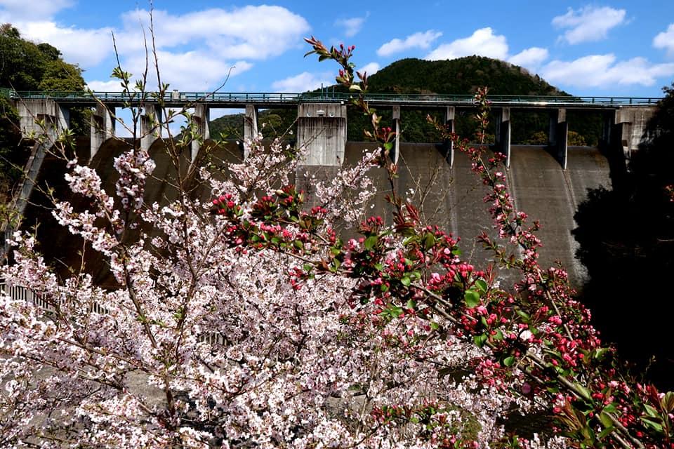 桜とダム。綺麗ですね。