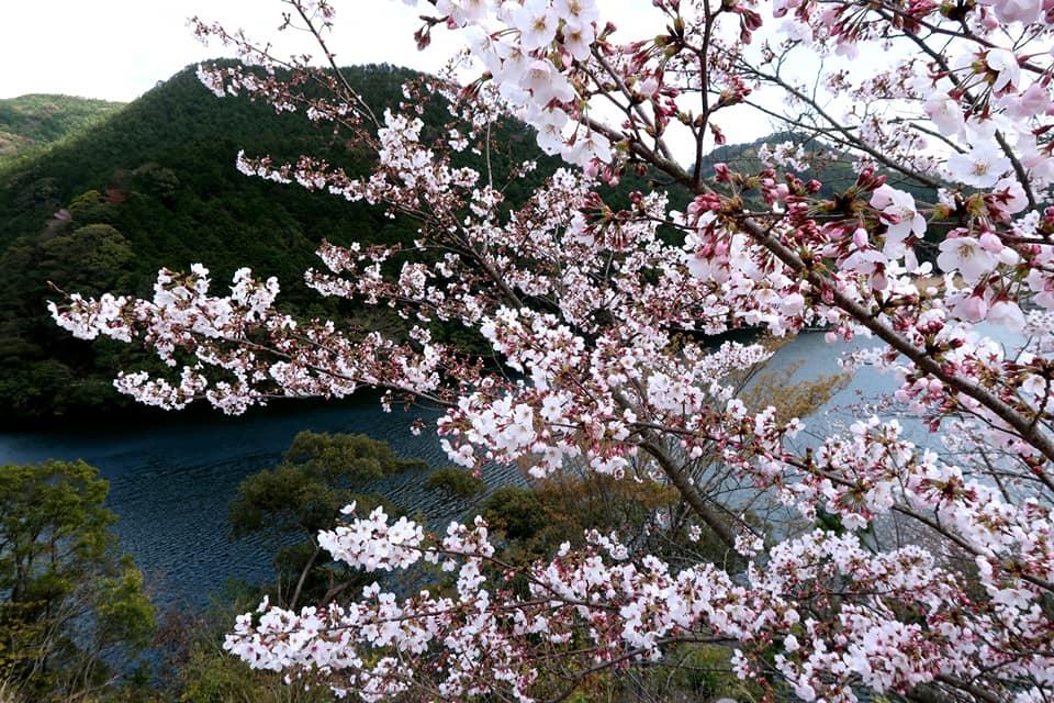 十曽池の望む桜です。素敵です。