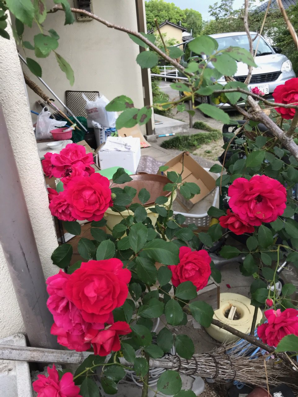 勝子おばあちゃんの薔薇2